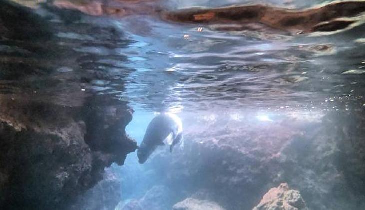 Nesli tükenme tehlikesi altında... Antalya'da Akdeniz foku görüntülendi