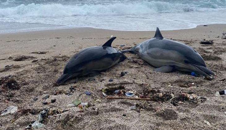 Riva'da iki ölü yunus balığı karaya vurdu