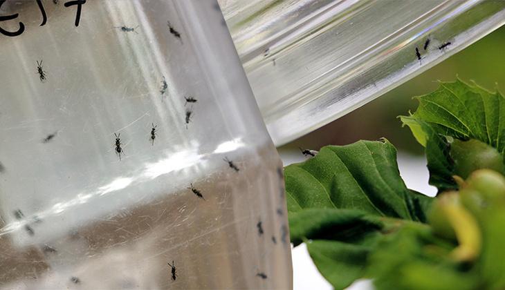 Zonguldak'ta 'katil arı' alarmı! Böcekler doğaya salındı