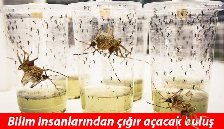 Bilimin büyük başarısı... Öldürücü hastalığı sivrisinekle yendiler!