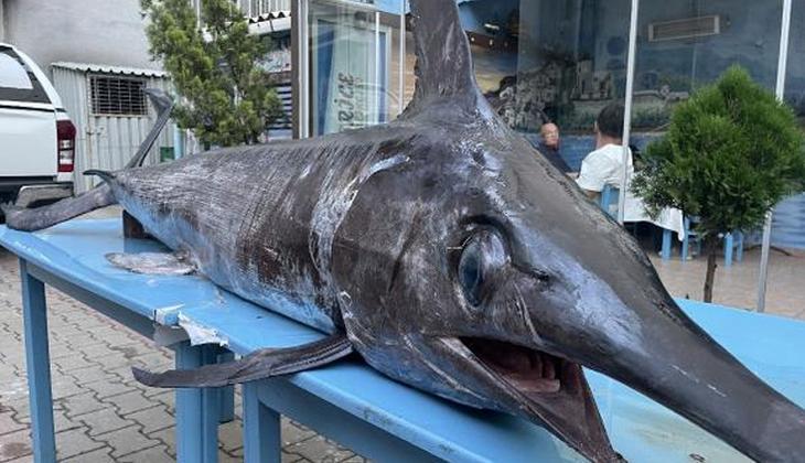Saros Körfezi'nde yakalandı! Dev kılıç balığı şaşkınlık yarattı