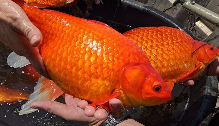 Sosyal medyadan çağrı yaptılar: Dev Japon balıkları istila etti!