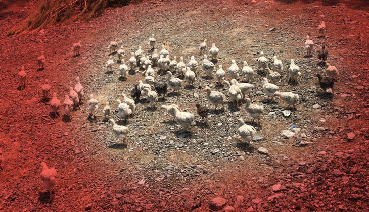 Adana'daki görüntüler tepki çekmişti! 300 civciv için harekete geçildi