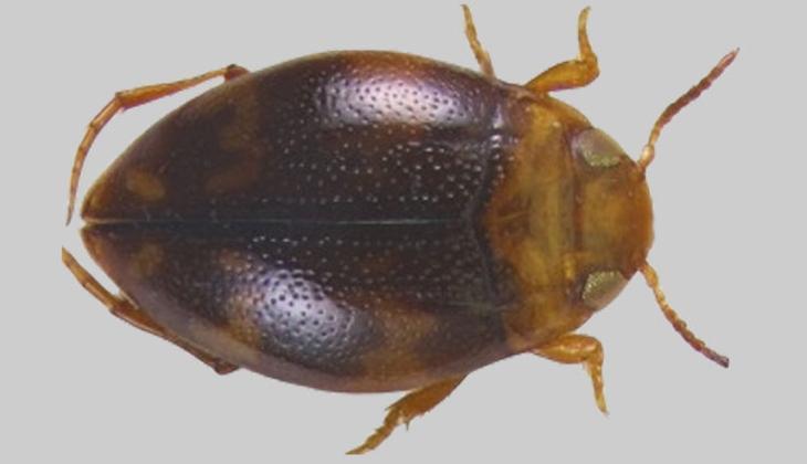 Adıyaman'da yeni bir böcek türü keşfedildi! Zootaxa dergisiyle bilim dünyasına duyuruldu