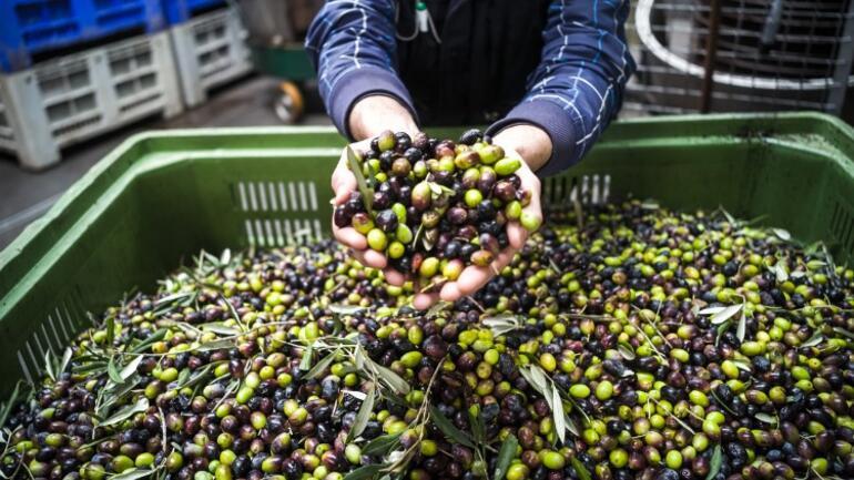 Zeytinyağında toksin şoku Tüketicinin kafası çok karışık: Nasıl tüketeceğiz | 5 SORU 5 YANIT