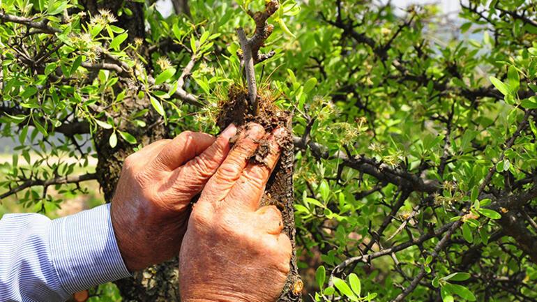 Manisada kuşlar için dağ tepe dolaşıp ağaçları aşılıyor