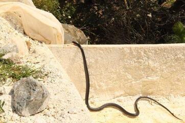 Kuşadasında siyah yılan paniği Uzmanlardan flaş uyarı