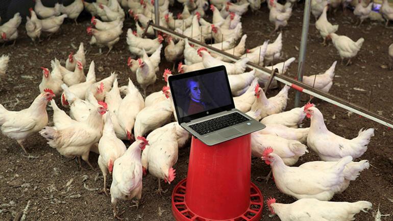 Tavuklar için klasik müzik repertuvarı hazırlattı... Sonucu şaşırttı