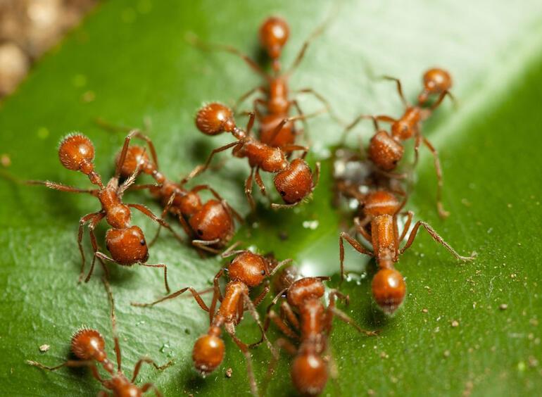 Ateş karıncaları sel baskınlarından kurtulmak için öyle etkili bir yöntem bulmuşlar ki...