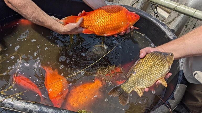 Sosyal medyadan çağrı yaptılar: Dev Japon balıkları istila etti