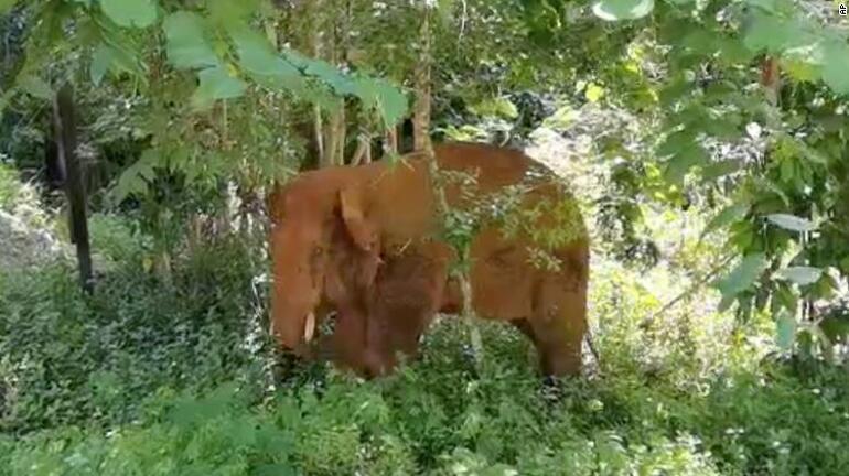 Dünya bu yolculuğu konuşuyor: Yüzlerce kilometre yürüyen fillerden bir nihayet eve döndü