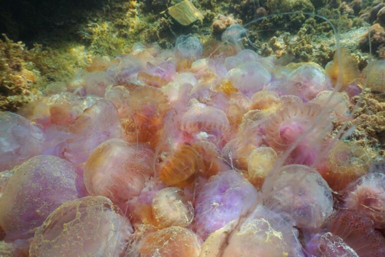 Komşu kıyıda denizanası istilası... Türkiyeye gelir mi Altını çizmekte fayda var, çok zehirliler...