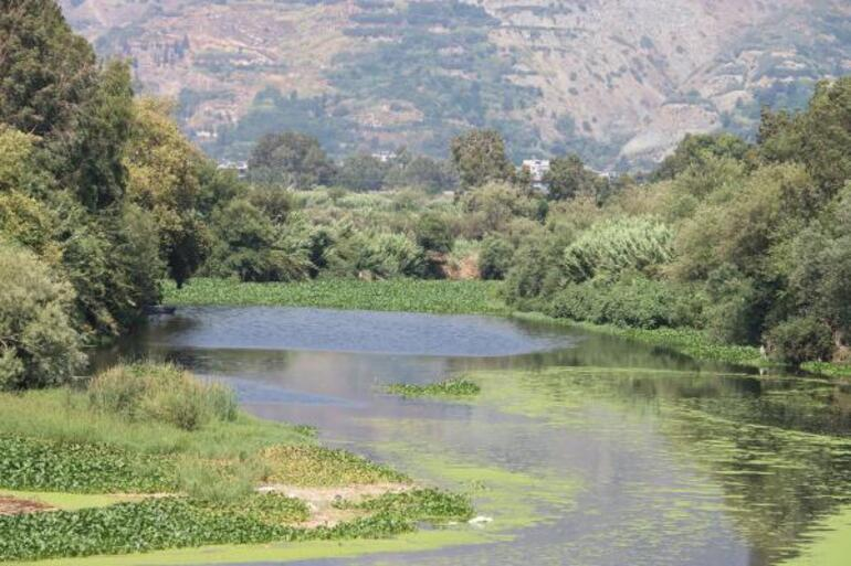 Yine görüldü Asi Nehrinin bazı bölümlerini tamamen kapladı